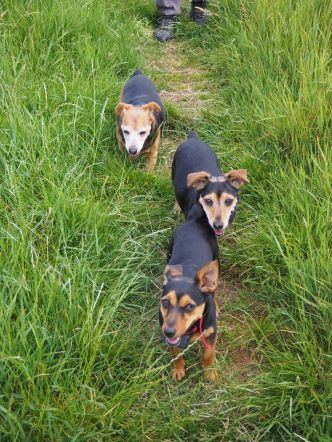 Three Jack Russell's out for a stroll