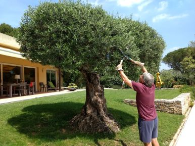 Pruning an Olive tree